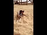 Щенок боксера пытается съесть лайм